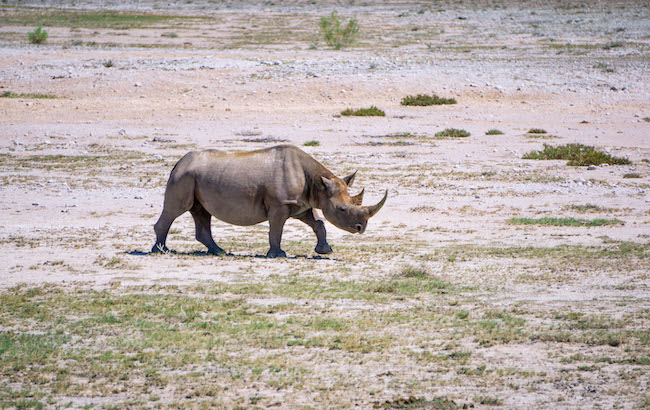 Namibia, Etosha National Park, Solo Rhino