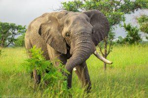 South Africa, Kruger NP, Elephant