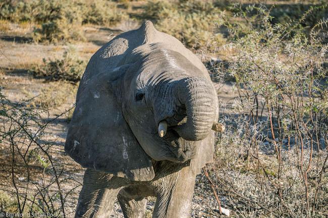 Namibia, Etosha NP, Elephant