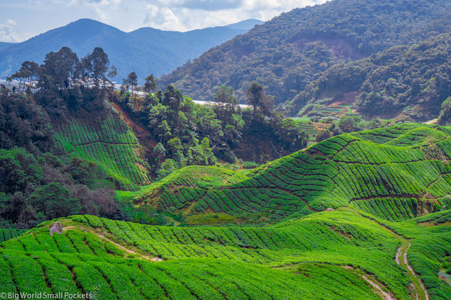 Cameron Highlands, Tea, Fields
