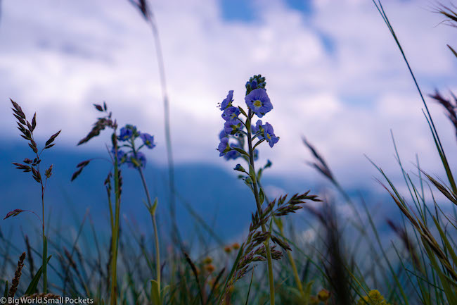 Georgia, Kazbegi, Wildflowers