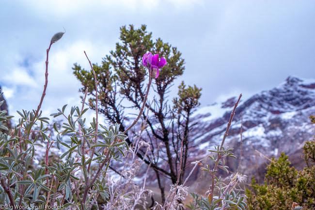 Peru, Huascaran National Park, Wildflower