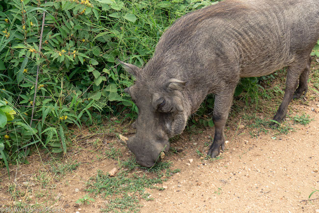 South Africa, Safari, Warthog
