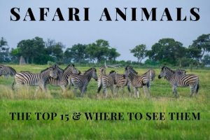 Safari Animals : Top 15 & Where to See Them