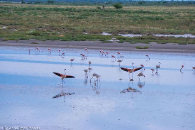 Namibia, Etosha, Flamingo