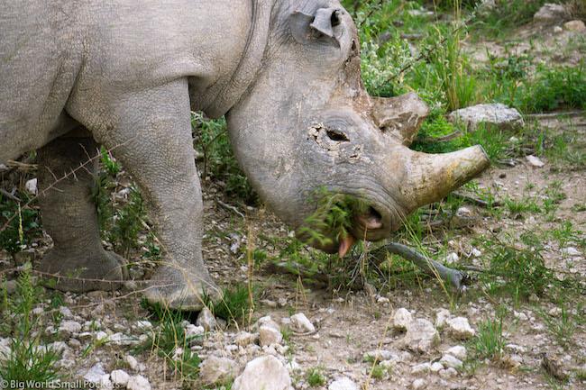 Namibia, Etosha NP, Rhino Eating