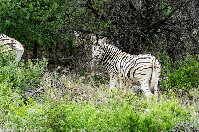 Namibia, Etosha, Zebra