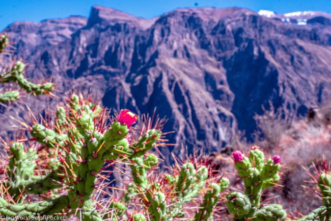 Peru, Colca Canyon, Cacti