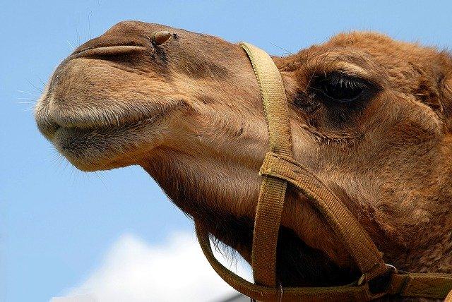 Kuwait, Desert, Camel