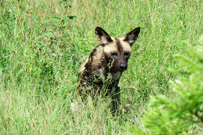 South Africa, Kruger NP, Wild Dog