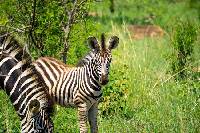 South Africa, Kruger National Park, Young Zebra