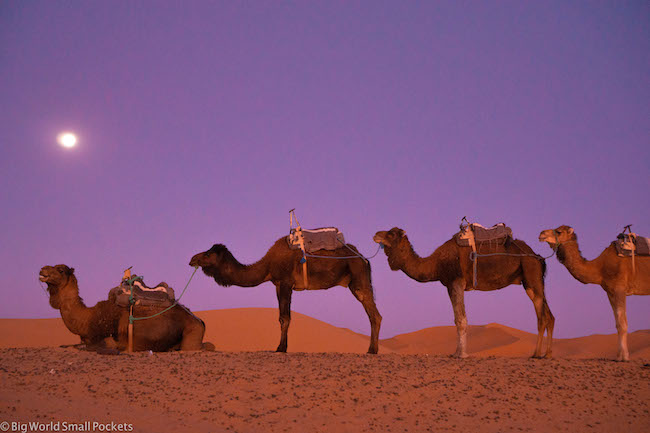 Africa, Morocco, Camels