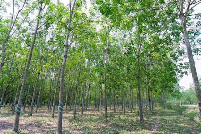 Vietnam, HCMC, Rubber Trees