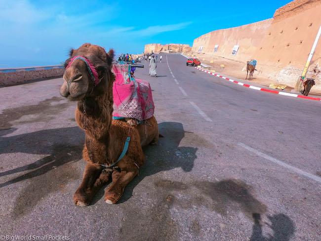 Morocco, Agadir, Camel
