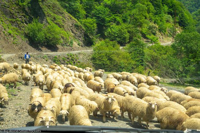 Georgia, Tusheti, Sheep