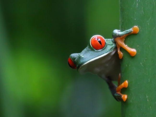 Costa Rica, Rainforest, Treefrog