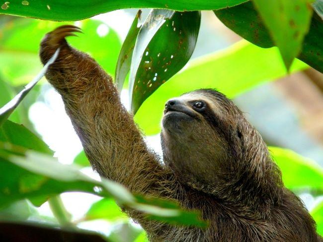 Costa Rica, Sloth, Rainforest