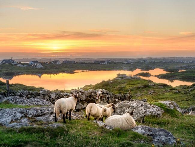 Ireland, Landscape, Sheep