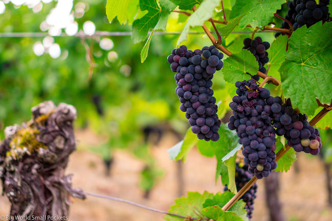 France, Alsace, Grapes