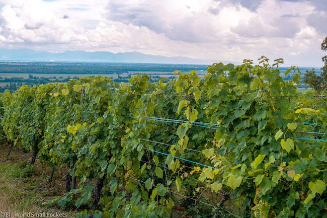 France, Alsace, Vines