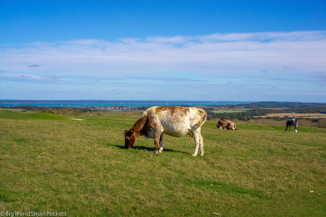 England, Isle of Wight, Cow