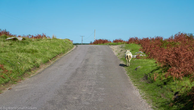 Wales, Brecon Beacons, Sheep on Road