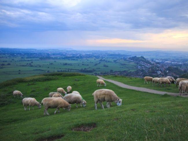 UK, Glastonbury, Sheep