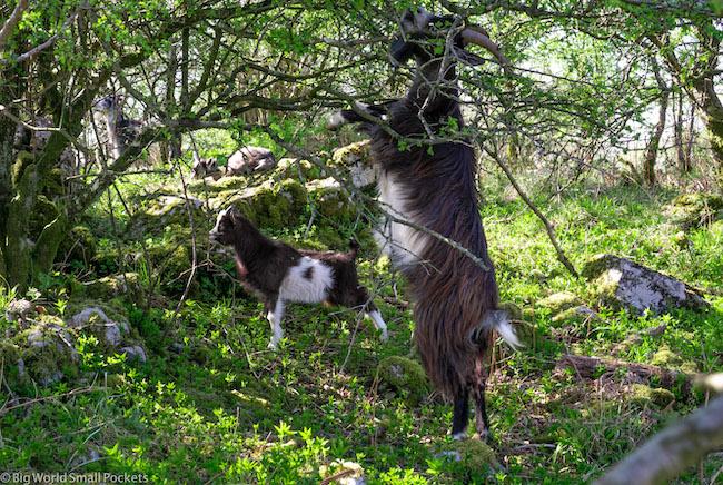 England, Somerset, Goats