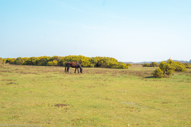 England, New Forest, Pony on Moor