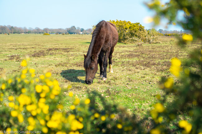 England, New Forest, Wild Horse