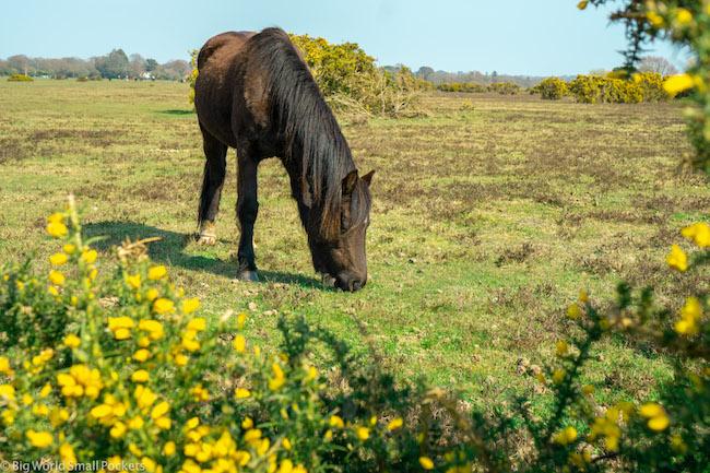 UK, New Forest, Wild Horse