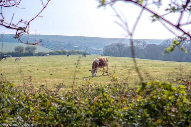UK, Dorset, Cow